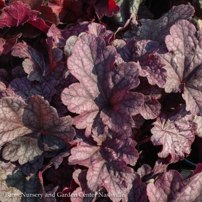 #1 Heuchera Berry Smoothie/Coral Bells