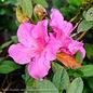#3 Azalea Encore Autumn Twist / Repeat/pale pink,dark pink, purple