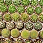 "1.5"" Cactus Assorted /Tropical"