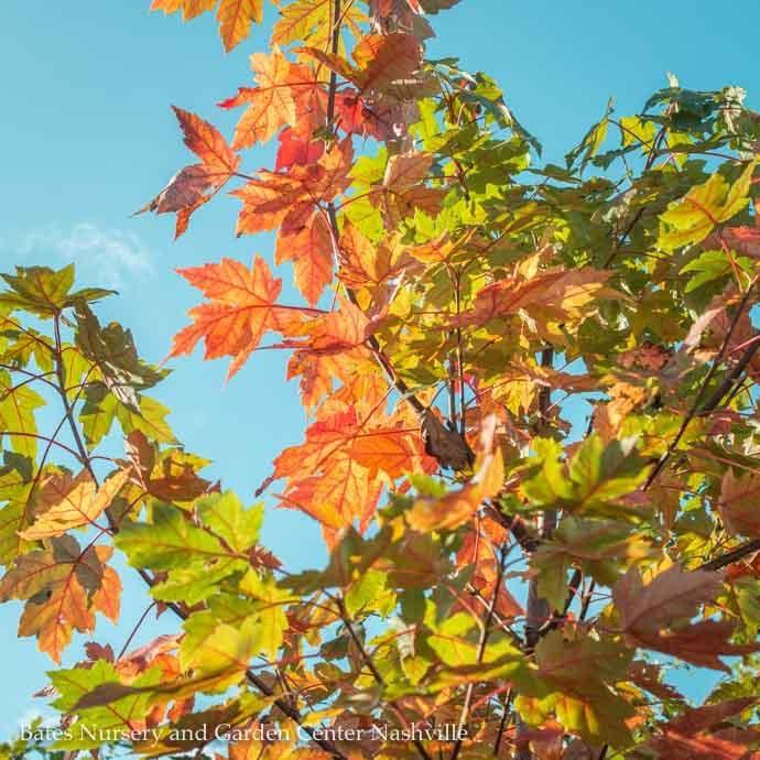 "#25 Acer rubrum x freemanii Autumn Blaze/Red Maple 2""caliper"