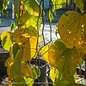 #15 Cercis Golden Falls/Gold Weeping Redbud