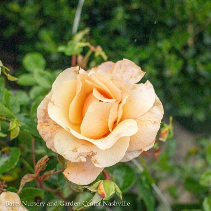 #2 Rosa Nitty Gritty White/Shrub Rose NO WARRANTY