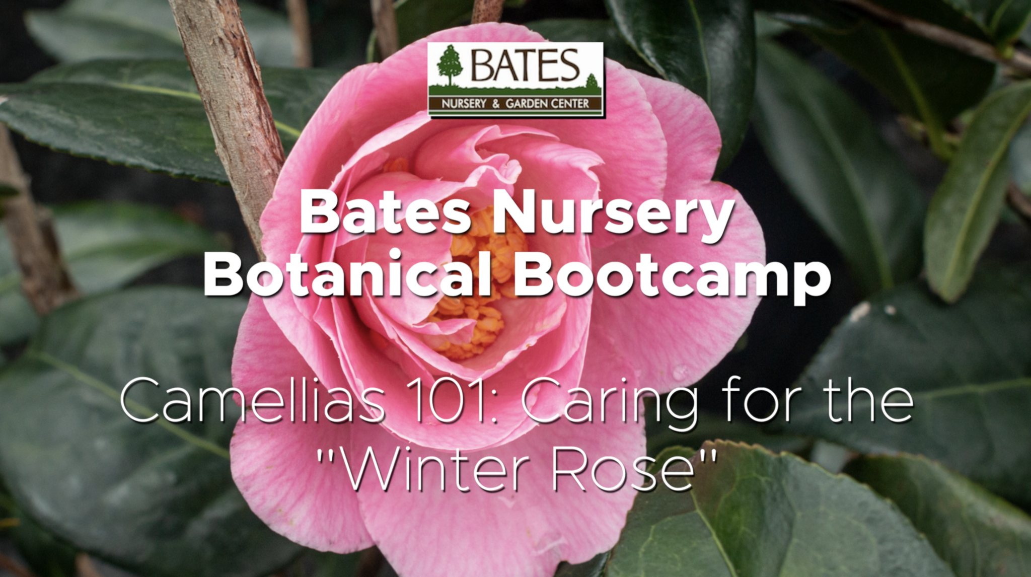 "Camellias 101: Caring for the ""Winter Rose"""
