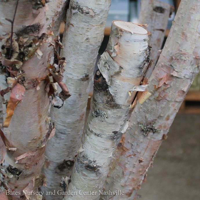 White Birch Pole 4ft ea