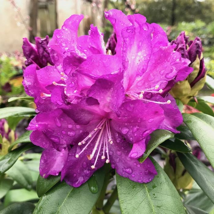 #2 Rhododendron 'Purple Passion' NO WARRANTY