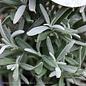 4p! Lavender Cone Topiary /Tropical