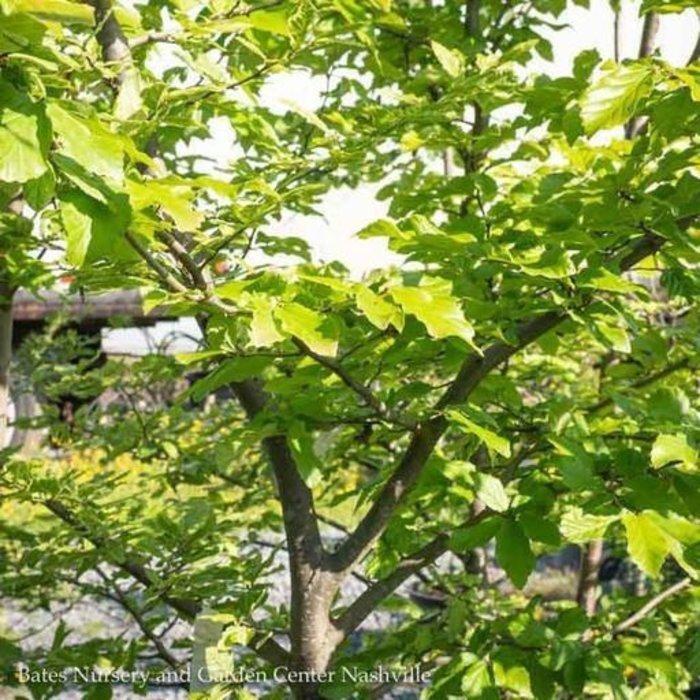 #10 Parrotia persica Persian Lace/Persian Ironwood
