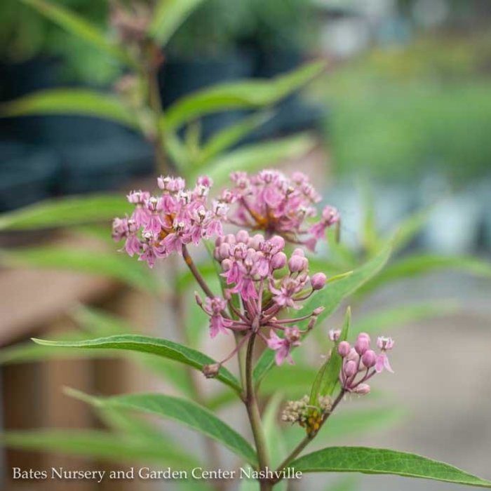 #1 Asclepias inc Cinderella/Pink Swamp Milkweed