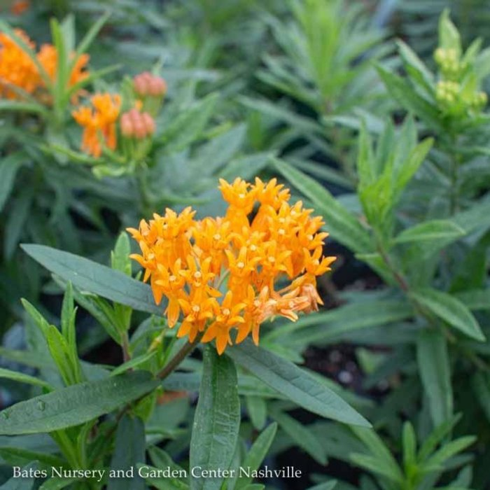 #1 Asclepias tuberosa/Butterfly Weed