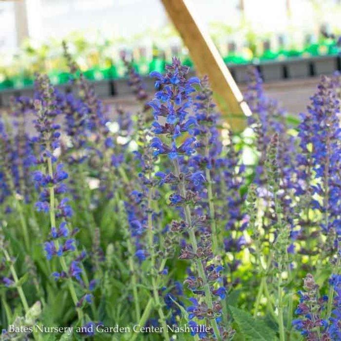 #1 Salvia May Night/Sage