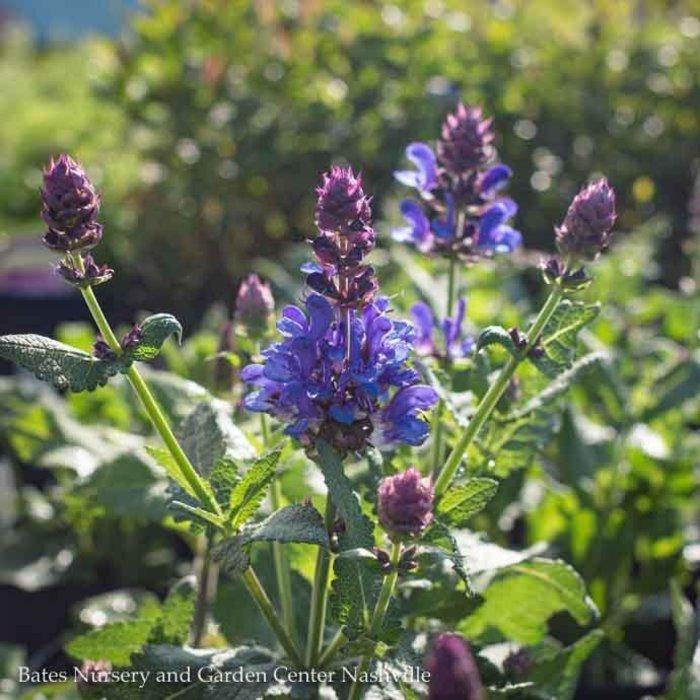 #1 Salvia nem. Blue Marvel