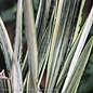 6p! Sansevieria Bantel's Sensation /Mother-in-Law Tongue /Snake Plant /Tropical **LIMIT 1**
