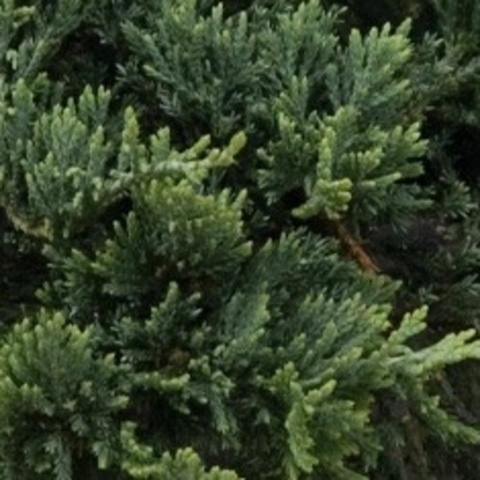 #1 Juniperus horiz Wiltoni/Blue Rug Creeping Juniper