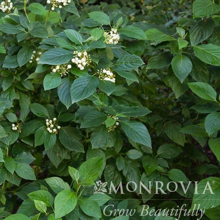 #2 Cornus s Flaviramea/Yellow Twig Dogwood