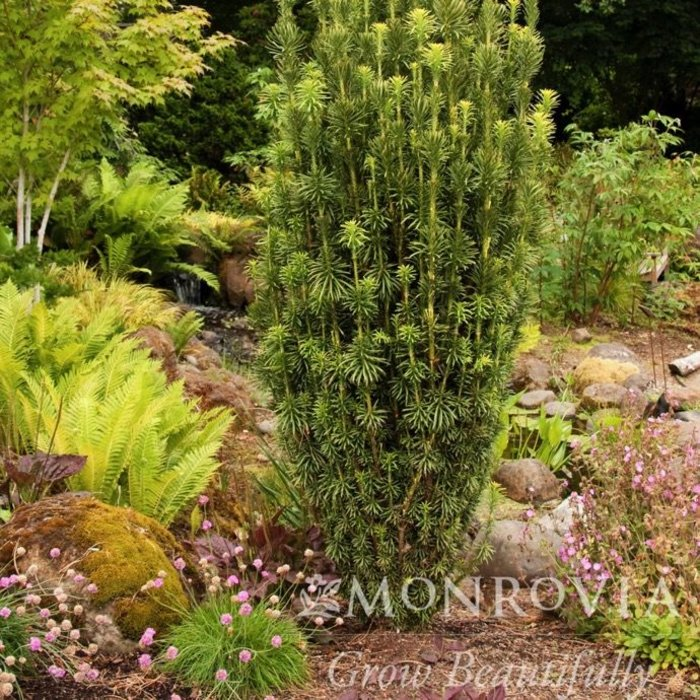 #6 Cephalotaxus harringtonia 'Fastigiata'/Upright Japanese Plum Yew