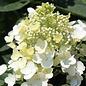 #2s Hydrangea pan Baby Lace/Panicle Compact White