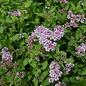 #3 Spiraea japonica 'Little Princess'/Rose-Pink