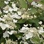 #3 Hydrangea pan Quick Fire/Panicle White to Pink-red