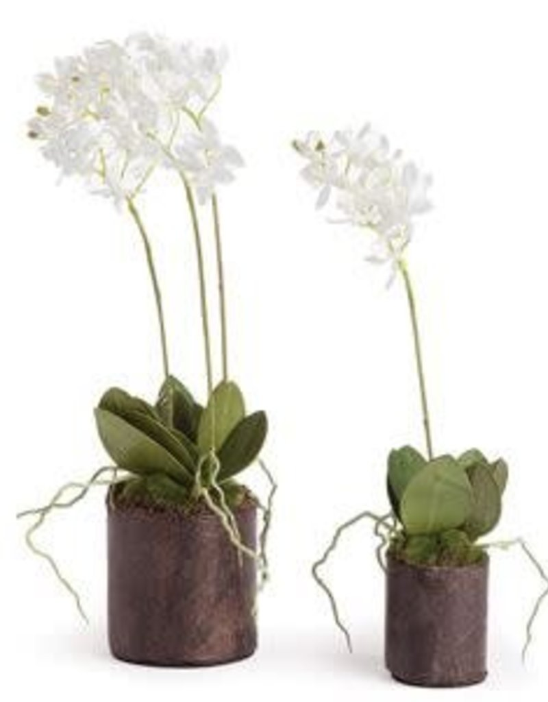 """16"""" Dendrobium Drop-In w/ Roots"""