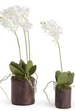 """12"""" Dendrobium Drop-In w/ Roots"""