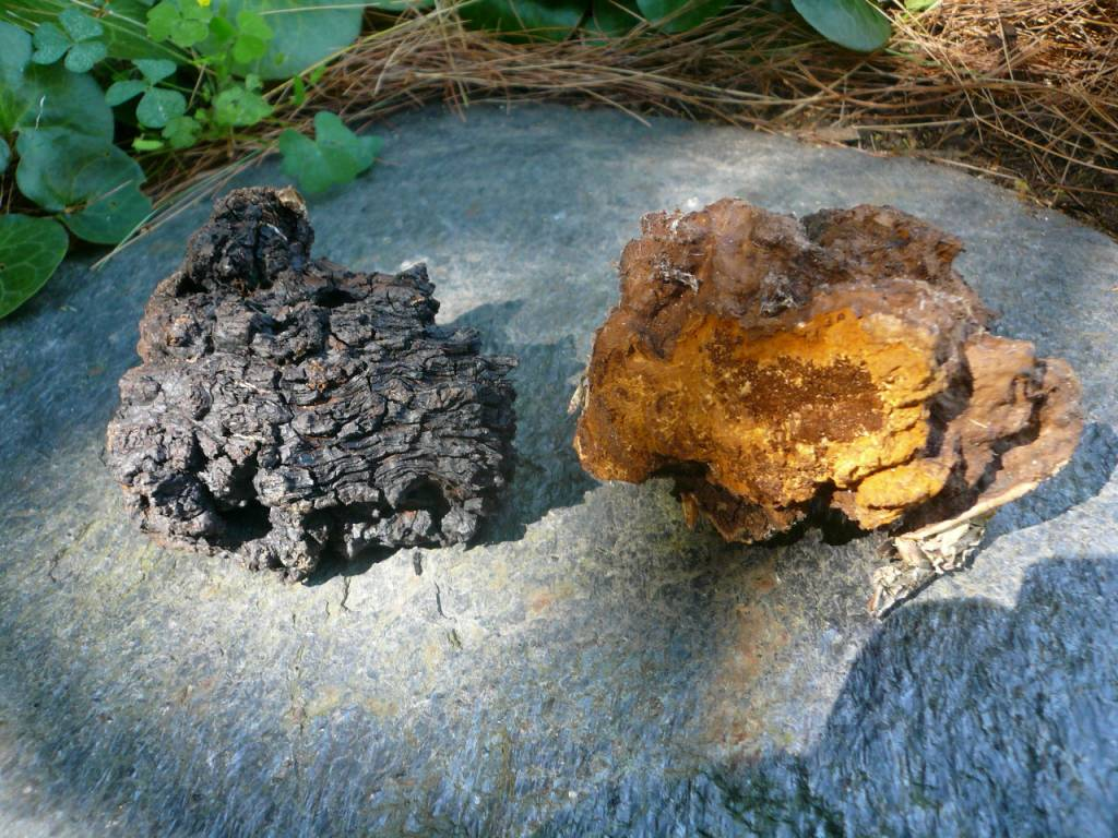 Information On Chaga Mushrooms