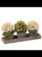 Allstate Hydrangeas in Pot x3 with Tray