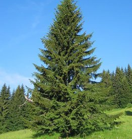 Picea abies -Norway Spruce #5 18-24""