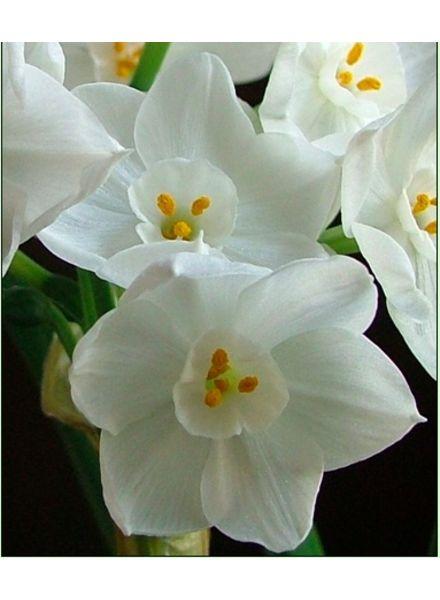 Narcissus, Ziva Paperwhite
