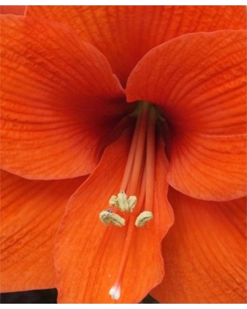 Amaryllis - Naranja (Single)