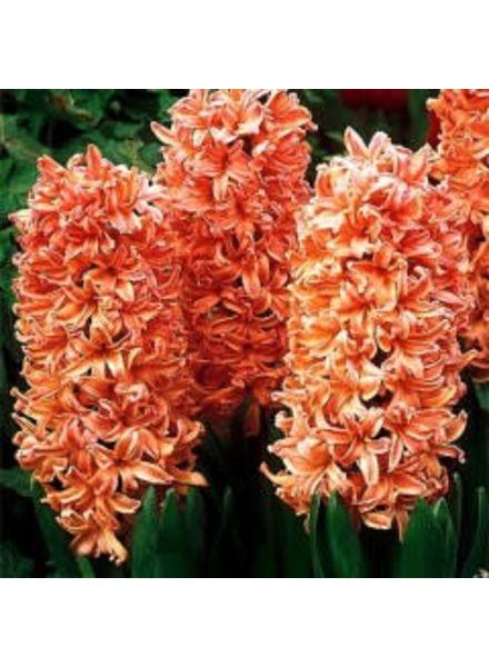 Hyacinth - Gypsy Queen