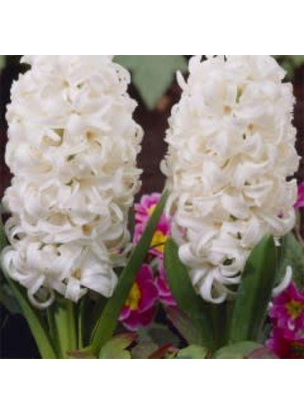 Hyacinth - White Pearl