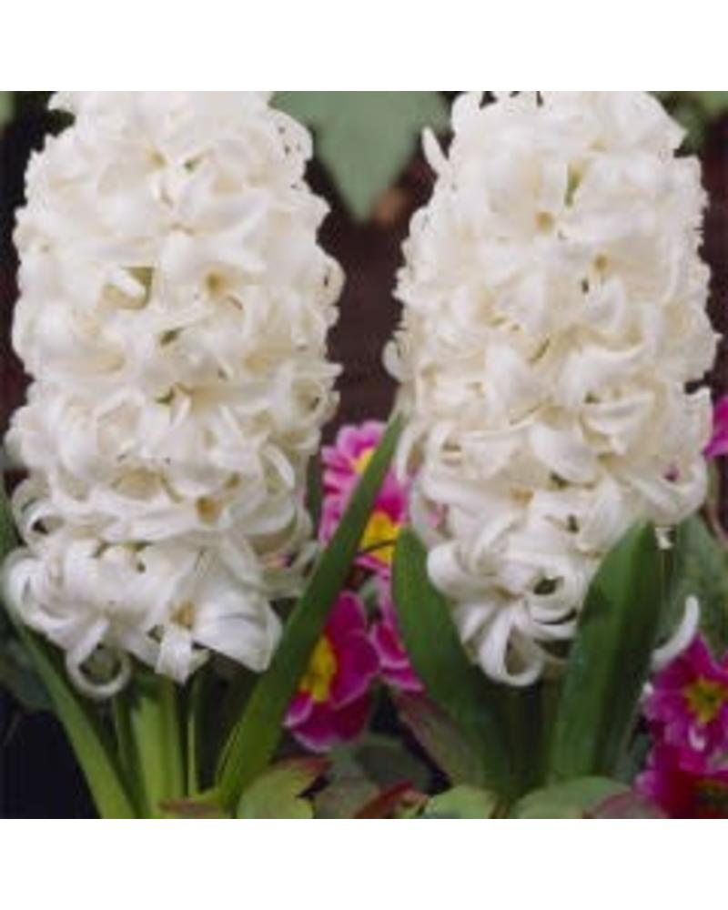 Hyacinth - White Pearl (Single)