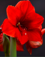 Giant Amaryllis - RED (Single)