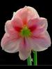 Amaryllis - Blushing Bride