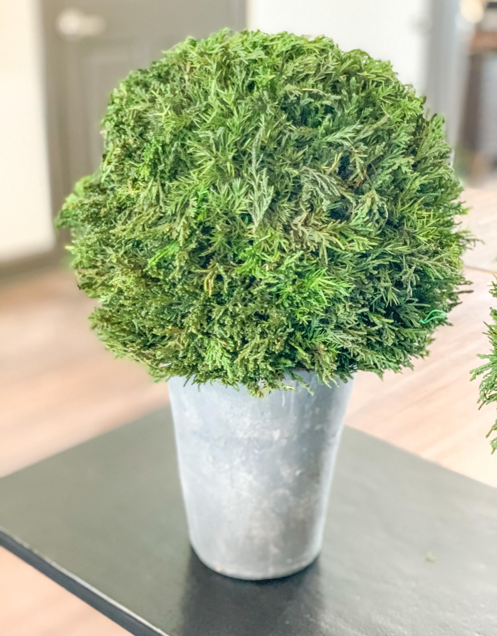 Cypress Plants (Set of 2)