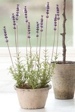 French Lavender Potted 17""