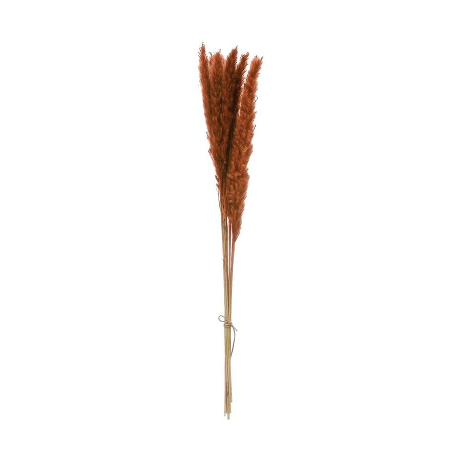 Dried Cortaderia