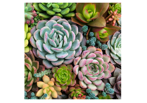 Pink Picasso Pink Picasso Sensitive Succulents Paint by Number
