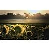 """Sunflower Field 16""""x24"""" Photo Board"""