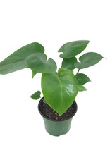 Philodendron 'Monstera' 6 Inch