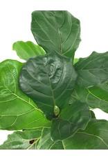 Ficus lyrata  10 inch