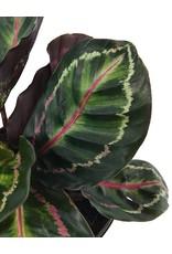 Calathea roseopicta 'Medallion' 6 Inch