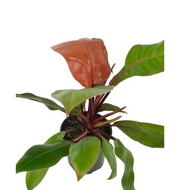 Philodendron 'Prince of Orange' 6 Inch