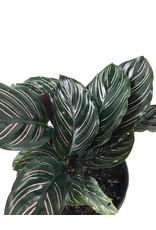 Calathea ornata 'Sanderiana' - 6 inch