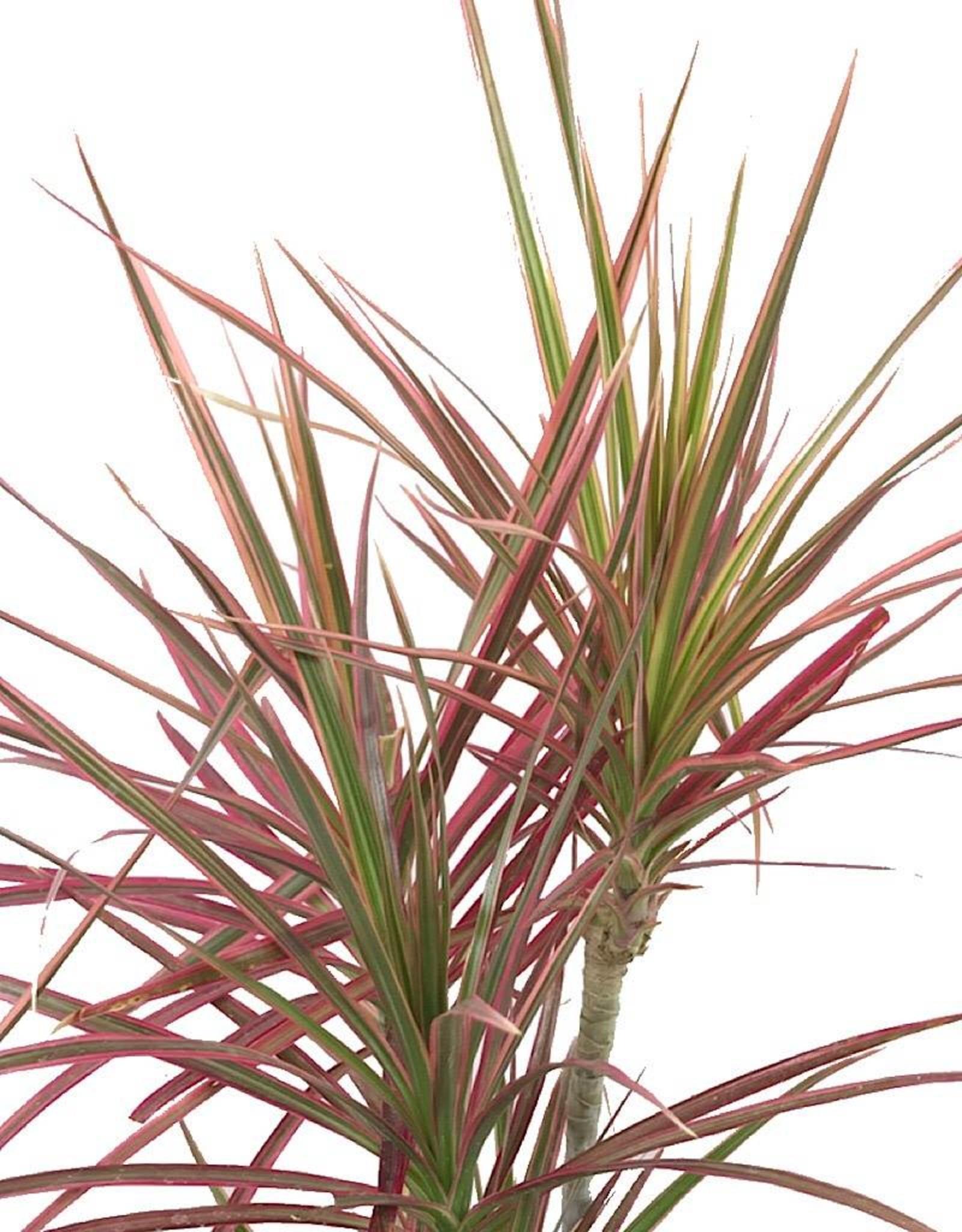 Dracaena marginata 'Colorama' 6 inch