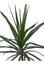 Dracaena marginata 'Magenta' 6 Inch