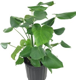 Philodendron 'Monstera' - 10 inch