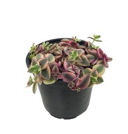 Crassula pellucida 'Variegata' 4 Inch