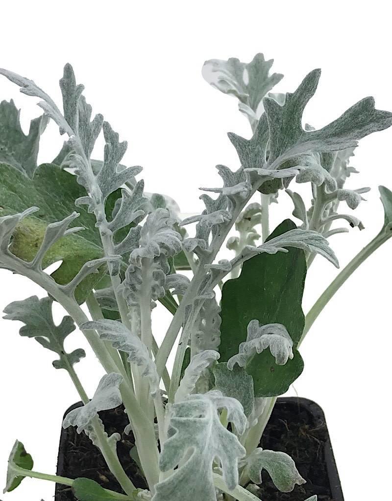 Senecio c. 'Silver Dust' - 4 inch