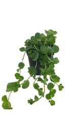 Lysimachia 'Green' 4 Inch